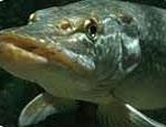 клев рыбы саткинский район