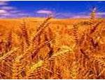 С южноуральских полей собрано 5% урожая зерновых