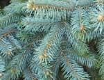 На Южном Урале новогодние елки подорожают как минимум на 10% - 12%