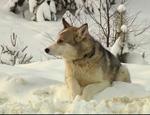 В Югре собака полтора месяца ждет погибшего хозяина у обочины дороги