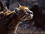В челябинском зоопарке поселилась южноамериканская дикая кошка