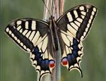 Челябинску покажут бриллиантовых и бархатных бабочек