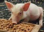 Каждому свиноводческому хозяйству Южного Урала придадут определенный статус