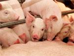 На Южном Урале выбрали площадки под строительство крупного свинокомплекса