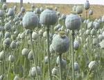 В Чесме пенсионеры разбивают  маковые плантации на собственных огородах