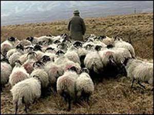 В Челябинской области разбойник напал на пастуха / И отобрал у него овцу