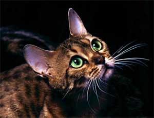 Жительница Челябинска разводит и продает генетически больных кошек / А ненужных животных женщина раздает зоозащитникам