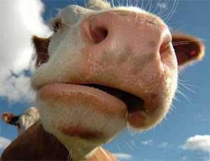 Южноуральским животноводам не советуют покупать скот в Забайкальском крае / Есть опасность заразиться ящуром