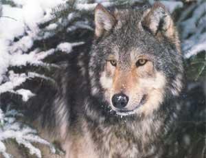 На Таганай вернулась волки / И мигрировали более 40 лосей