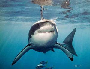 За Федором Конюховым увязалась акула / Рыба преследует путешественника уже два дня